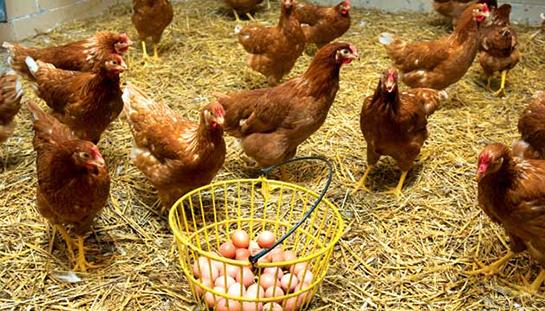 Yumurta tavuğu